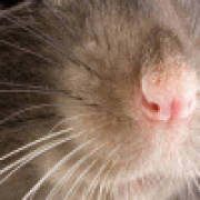 ratwhiskers
